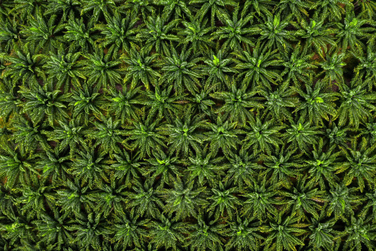 Aerial top view on plantation of palm trees texture background